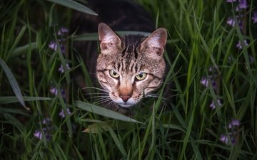 eyes, face, flowers, grass, cat, look, bengal cat