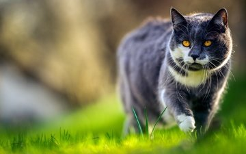 face, grass, greens, cat, grey, spring, walk, yellow eyes