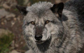 глаза, морда, взгляд, хищник, волк