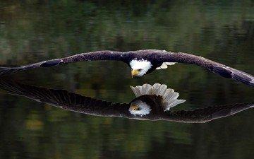 отражение, полет, крылья, орел, птица, белоголовый орлан