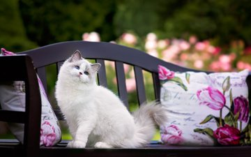 pillow, cat, animal, bench, ragdoll