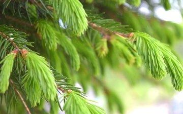 природа, дерево, хвоя, ветки, зеленые, ель, иголки