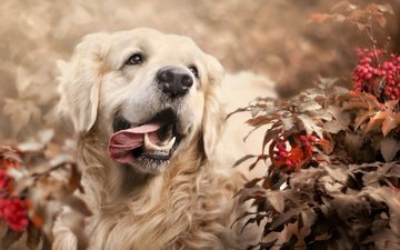 nature, leaves, branches, dog, berries, animal, language, bokeh, retriever, golden retriever