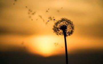 природа, закат, цветок, одуванчик, пушинки, былинки