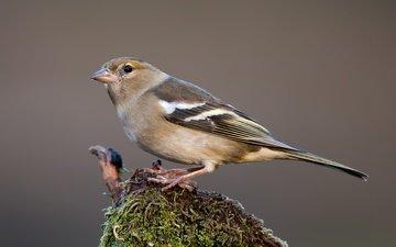 птицы, птица, зяблик, самка