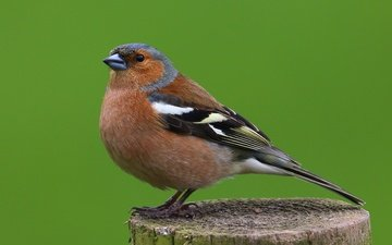 birds, bird, animal, male, chaffinch
