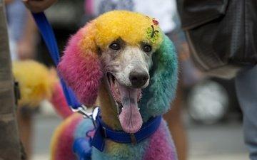 eyes, muzzle, look, dog, language, poodle, rio de janeiro, carnival
