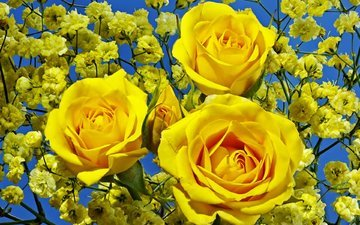 flowers, roses, bouquet, yellow, gypsophila