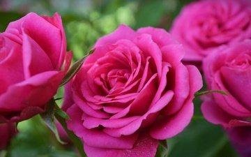 цветы, розы, лепестки, розовая роза