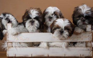 щенки, собаки, ящик, ши-тцу, ши-тцу.