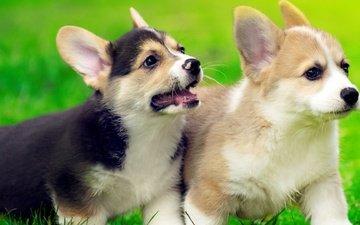 трава, щенок, щенки, собаки, вельш-корги, корги