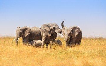 африка, слоны, саванна, слонята