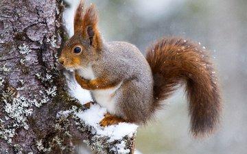 снег, дерево, белка
