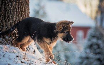 снег, дерево, зима, собака, дом, щенок, животное, ствол, немецкая овчарка, овчарка