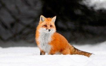 снег, зима, лиса, лисица, животное, лис