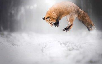 снег, зима, лиса, лисица, животное, охота