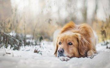 снег, зима, настроение, собака, золотистый ретривер