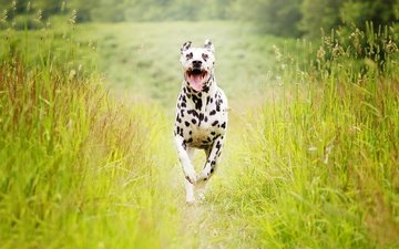 трава, собака, далматин, бег