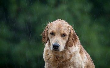 собака, дождь, золотистый ретривер