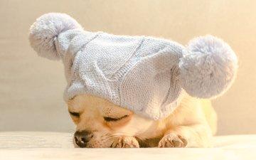 собака, спит, шапка, чихуахуа, bianca badosa