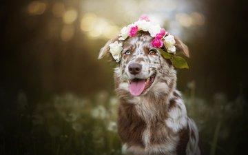 dog, language, wreath, bokeh, australian shepherd, aussie, dackelpuppy, sira