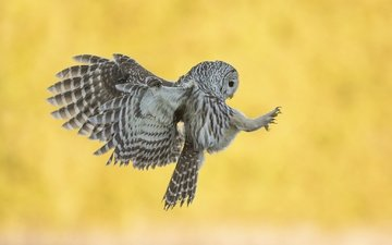 owl, background, flight, wings, bird, bird of prey