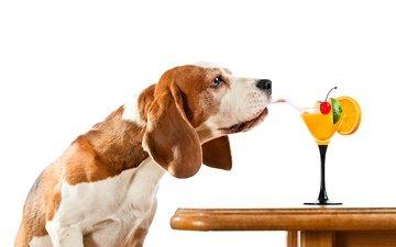 стол, собака, юмор, белый фон, коктейль, трубочка, бигль