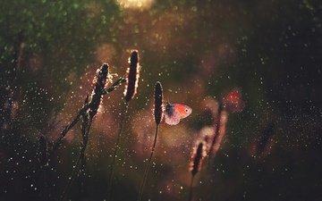свет, трава, макро, насекомое, капли, бабочка, блики, бабочки, боке