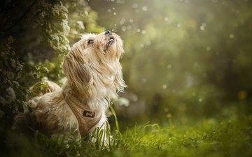 трава, цветение, собака, боке, dackelpuppy, maggie