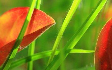 трава, природа, листья, макро