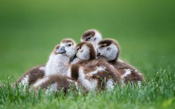 трава, птицы, птенцы, гуси, семейка, гусята