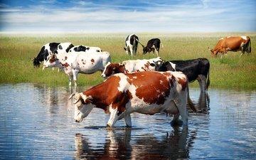 трава, водопой, коровы