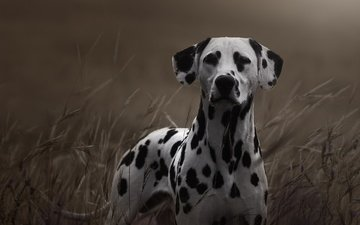 трава, взгляд, собака, далматин