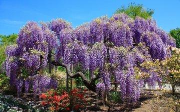 деревья, цветение, парк, весна, тюльпаны, глициния, вистерия