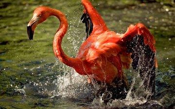 вода, фламинго, крылья, брызги, птица, клюв, оперение