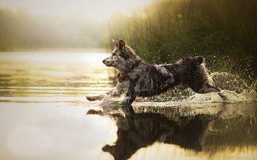 water, dog, squirt, running, sira