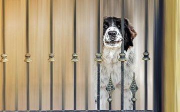 глаза, морда, взгляд, забор, собака, пес