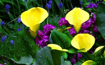 цветы, зелень, листья, каллы, левкой, кала