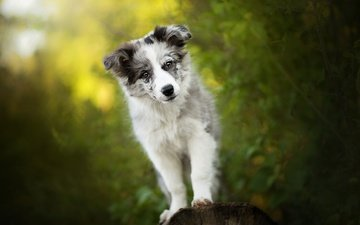 зелень, собака, щенок, алиса, собачка, боке, бордер-колли