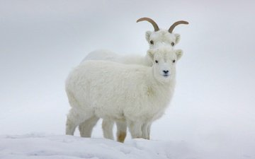 зима, рога, канада, бараны, юкон, баран далла