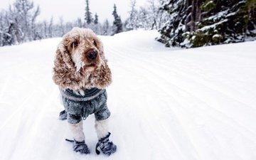 снег, зима, собака, холод, спаниель, кокер-спаниель