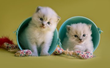 animals, toys, cats, kittens, bucket, ragdoll