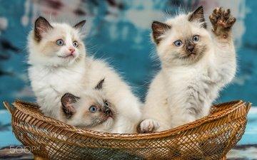 животные, кошки, котята, корзинка, троица, рэгдолл