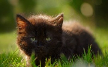 eyes, grass, cat, look, kitty