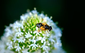 насекомое, цветок, муха, журчалка, jazzmatica