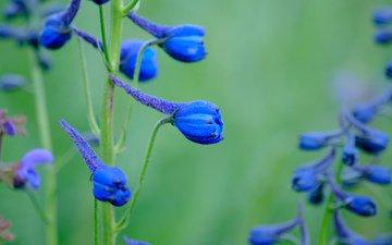flowers, blue, delphinium, jazzmatica