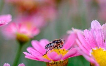 цветы, насекомое, лепестки, муха, jazzmatica