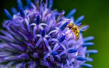 насекомое, цветок, пчела