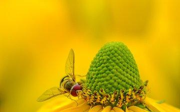 yellow, macro, insect, background, flower, bee, rudbeckia