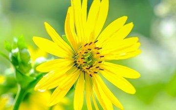 flowers, drops, petals, yellow